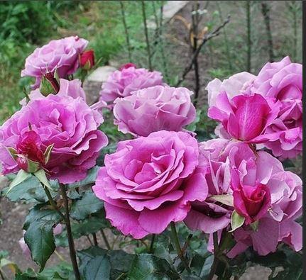 роза шокинг блю фото описание время все