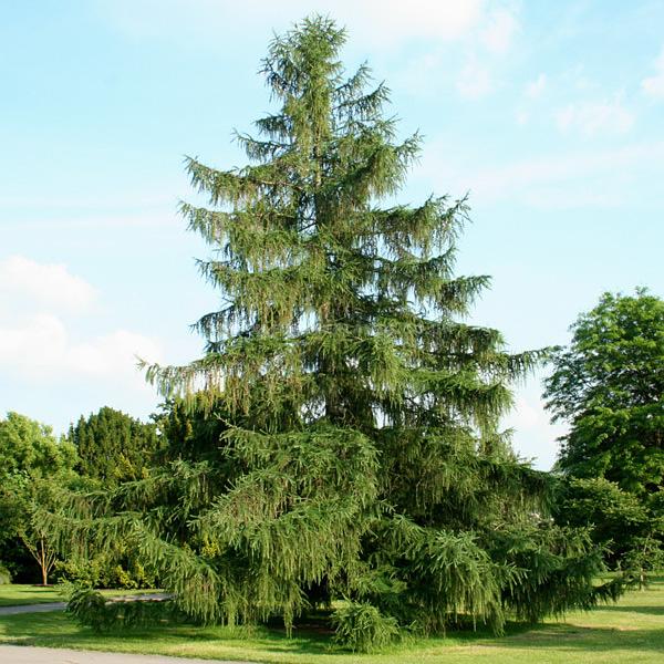 Лиственница европейская, Larix decidua. купить, цена, фото • Green ...   600x600