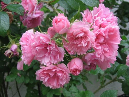 Роза парково-кустовая Pink Grootendorst