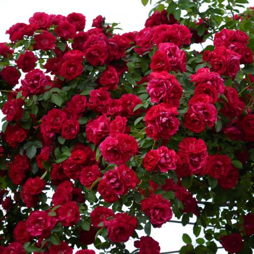 Роза плетистая Flammentanz