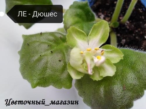 Фиалка ЛЕ-Дюшес