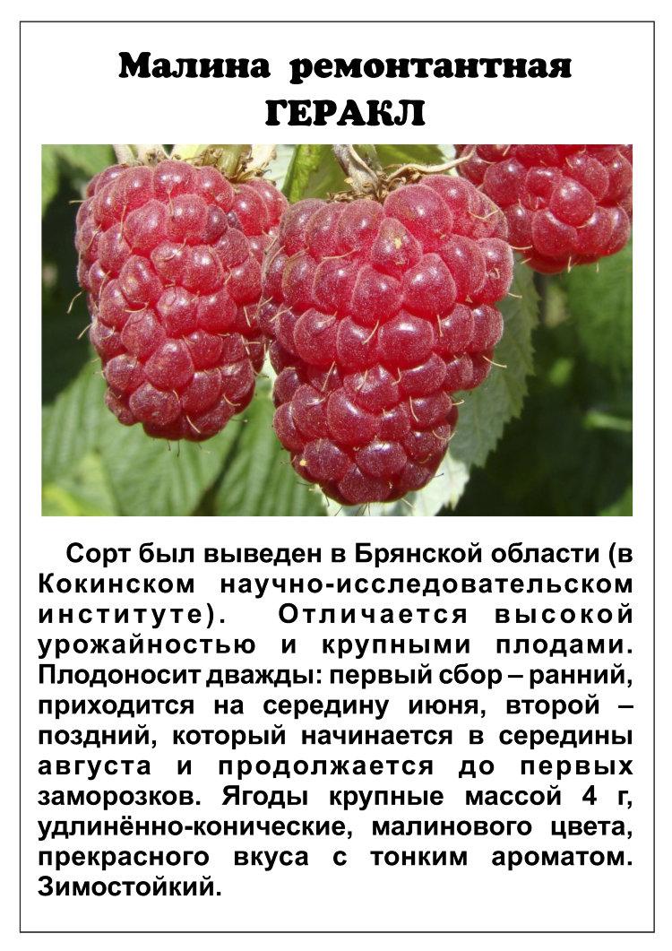 малина геракл описание сорта урожайность фото название конечно придумано
