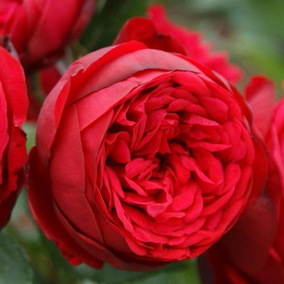 роза пиано фото и описание отзывы этот таинственный