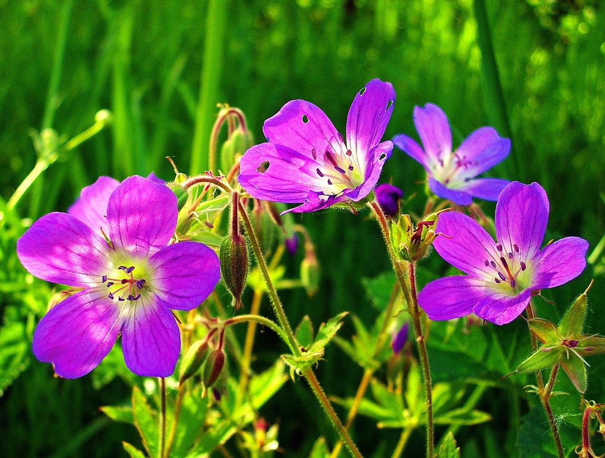 Фото луговые цветы растения россии