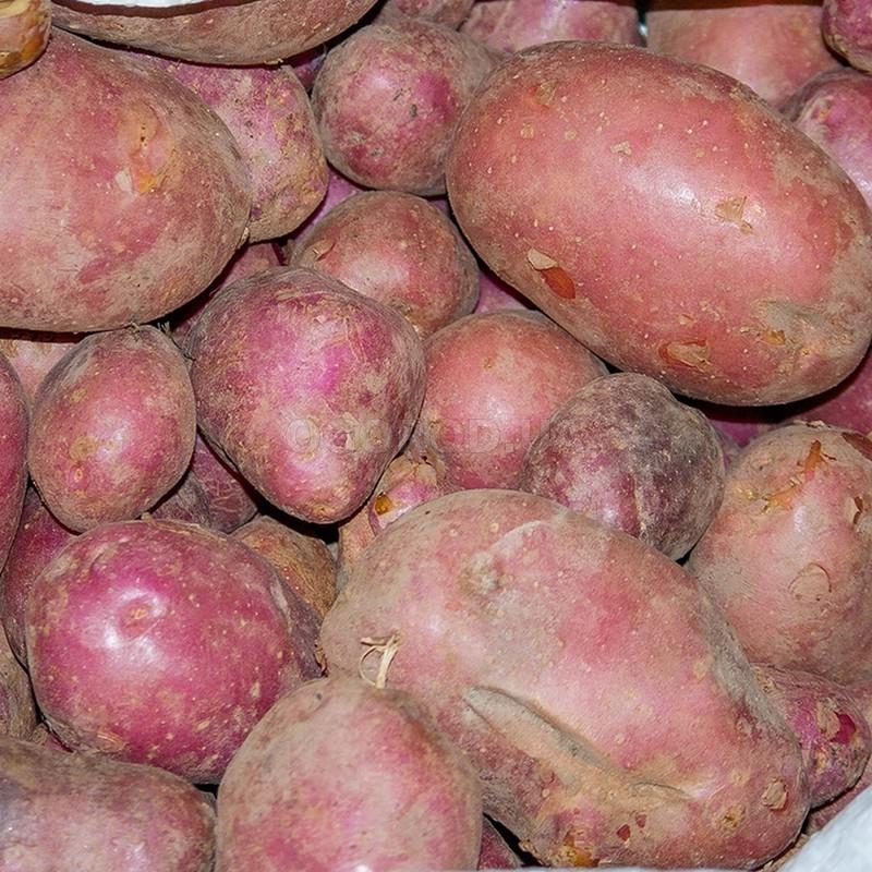 картофель журавинка описание сорта фото