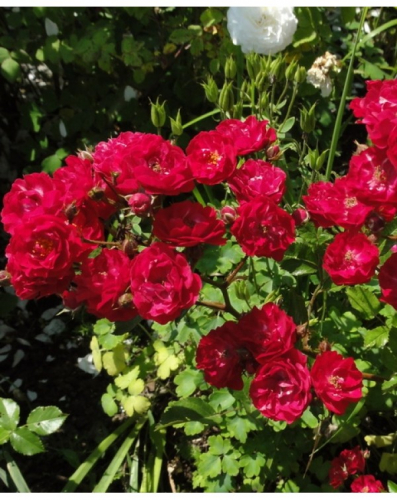 Фейри Данс (почво-покровная роза)