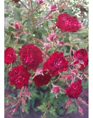 Ред Вельвет (почво-покровная роза)