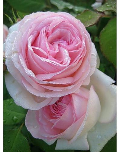 Эден роуз (плетистая)