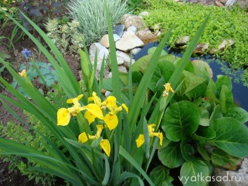 Ирис болотный аировидный  желтый