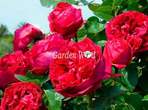 Red-eden-rose (плетистая)