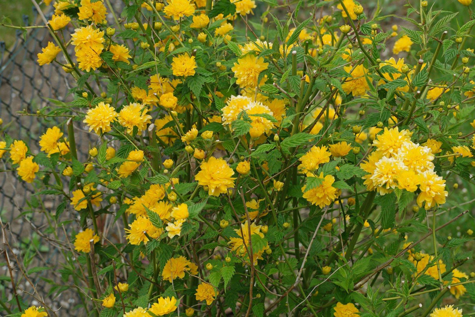 кустарник с желтыми цветами название и фото пара подробно