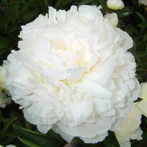 БРОНЬ 1ЯЩИК! White Sarah Bernhardt