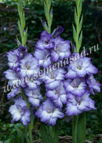 Гладиолус крупноцветковый Тритон