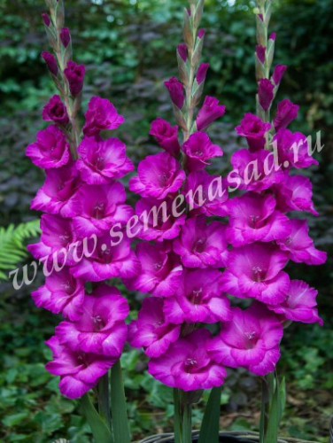 Гладиолус крупноцветковый Бельведер