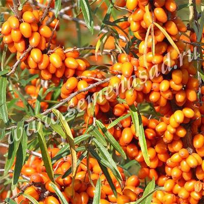 Облепиха Огниво (поздний, ягода цилиндрическая, оранжево-красная)