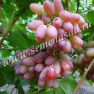Виноград плодовый Гелиос (ранний, ягода яйцевидная, розовая, крупная)