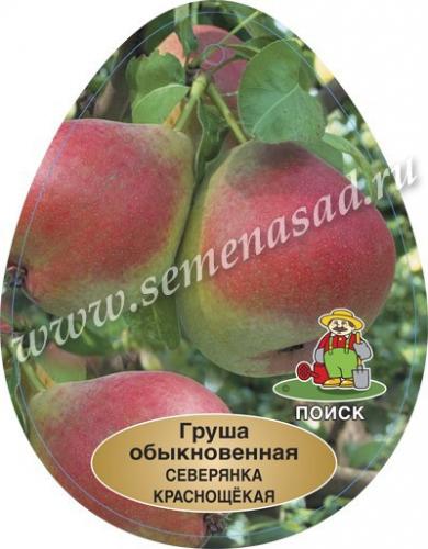 Груша Северянка краснощекая (2-х лет) (летний, плод светло-желтый с буровато-красным румянцем)