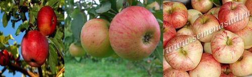 Дерево-сад (2-3летка) яблоня /подвой семенной/ 3 сорта Апорт - Медуница - Конфетное