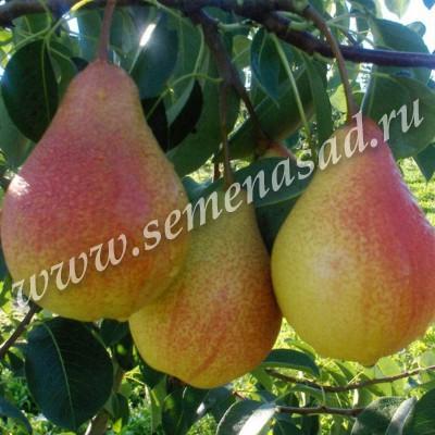 Груша Рапсодия (2-х лет) (осенний, плод зеленовато-желтый с красным румянцем)