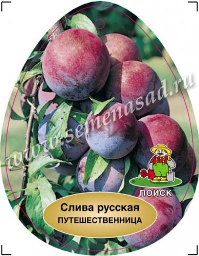 Слива русская (Алыча) Путешественница (ранний, плод красно-фиолетовый)