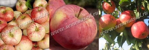Дерево-сад (2-3летка) яблоня /подвой семенной/ 3 сорта Конфетное - Орловим - Мантет