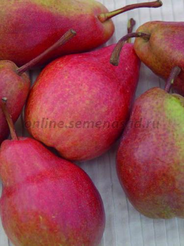 Груша Кармен (летний, плод буровато-красный)