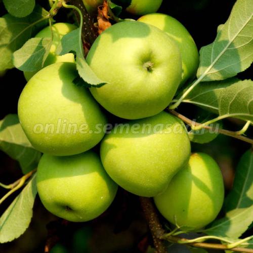Яблоня колонновидная Статистика (подвой 54-118, полукарликовый) (позднеосенний, плод зеленый)