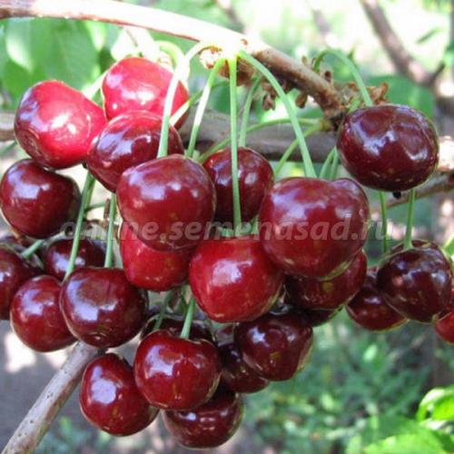 Черешня Родина (2-х лет) (раннесредний, плод темно-красный)