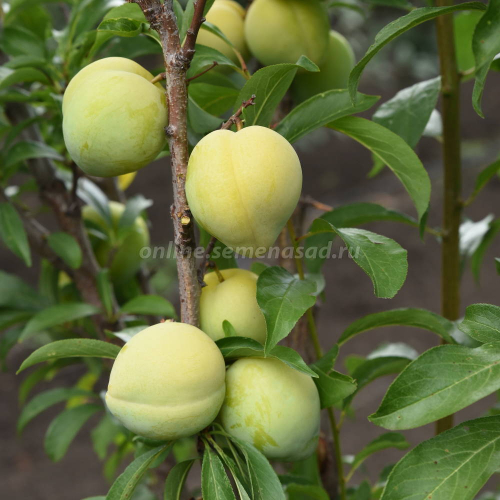 Слива русская (Алыча) пирамидальная Мирабелла (поздний, плод желтый)