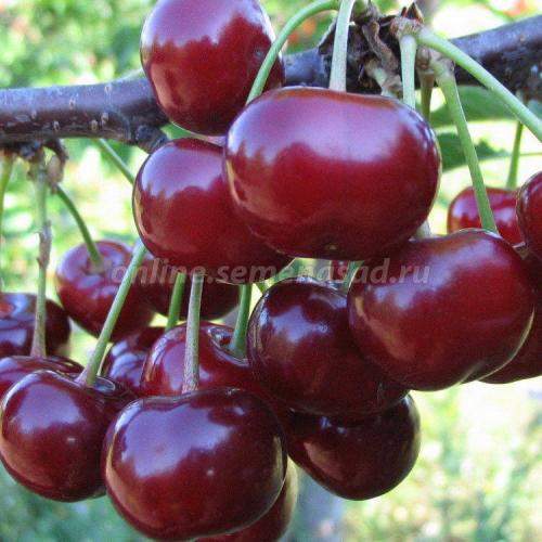 Вишня Ходоса (дюк) (гибрид вишня х черешня, средний, плод темно-красный)
