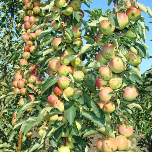 Яблоня колонновидная Память Блынского (подвой 54-118, полукарликовый) (позднеосенний , плод желто-зеленый с покровной темно-красной)