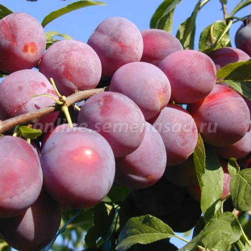 Слива китайская Красивая Веча (ранний, плод красный)