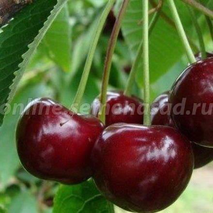 Вишня Игрушка (дюк) (2-х лет) (гибрид вишня х черешня, средний, плод темно-красный)
