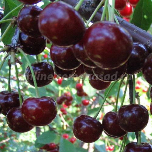 Вишня Ивановна (дюк) (гибрид вишня х черешня, поздний, плод темно-красный)
