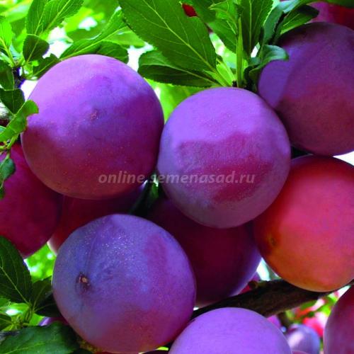 Слива русская (Алыча) Карминная (среднеранний, плод темно-красный)