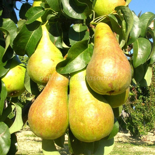 Груша пирамидальная Сапфира (осенний, плод зеленовато-желтый)