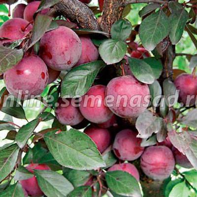 Слива Конфетная (ранний, плод темно-красно-фиолетовый)