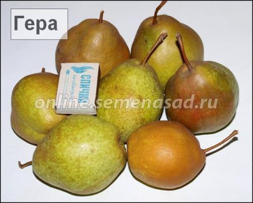 Груша Гера (2-х лет) (зимний, плод зеленый)