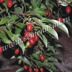 Гуми (Лох многоцветковый) (плоды яр-красн цвета с мелкими сереб. точками; созрев. в августе)