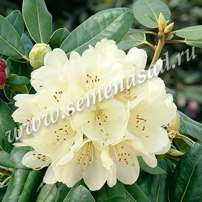 Рододендрон гибридный Эренгольд (цветки светло-желтые с едва заметным светлым пятном)