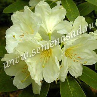 Рододендрон гибридный Голдфорт (цветки нежно бело-лимонные, обильноцветущий)
