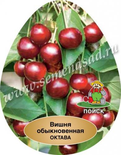 Вишня Октава (средний, плод темно-вишневый)