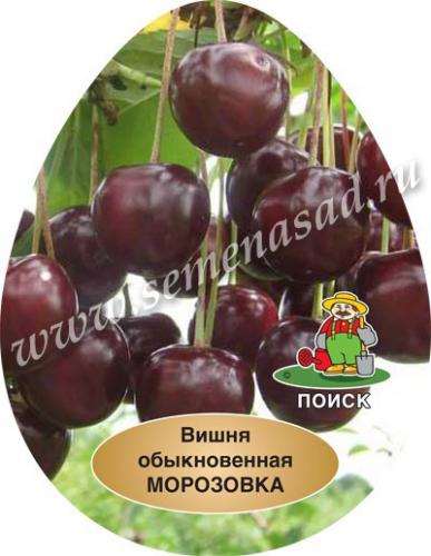 Вишня Морозовка (средний, плод темно-красный)