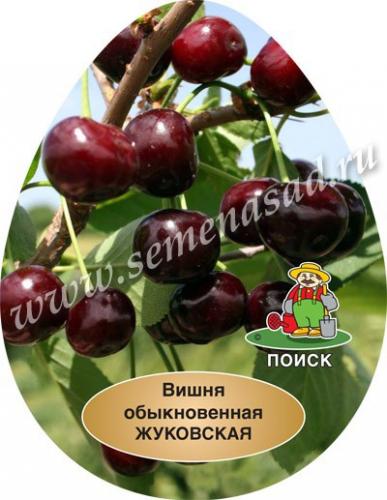 Вишня Жуковская (среднеспелый, плод темно-красный, крупный)