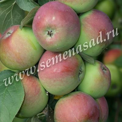 Яблоня колонновидная Джин (в коробке) (осенний, плод красный)