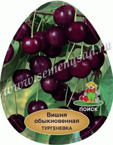 Вишня Тургеневка (средний, плод темно-бордовый, крупный)