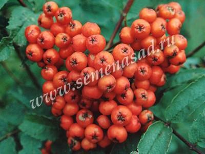 Рябина Сорбинка (в коробке) (раннеосенний, плод красный)