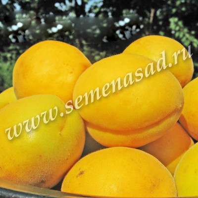 Абрикос Триумф Северный (средний, плод оранжевый с румянцем)