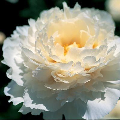 Marshmallow Puff