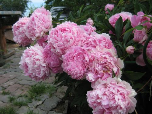 Пинк парфейт (pink parfait)